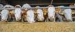 Leinwanddruck Bild - Rindviehstall: Fleckvieh-Bullen fressen Maissilage
