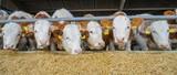 Rindviehstall: Fleckvieh-Bullen fressen Maissilage