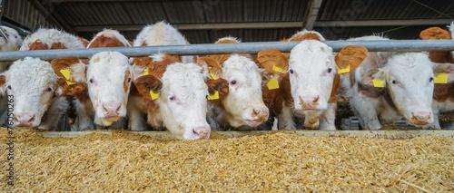 Leinwanddruck Bild Rindviehstall: Fleckvieh-Bullen fressen Maissilage