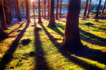 coniferous forest with sunlight