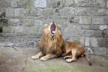 Angry Roaring Lion King of Beasts Shows His Huge Fangs