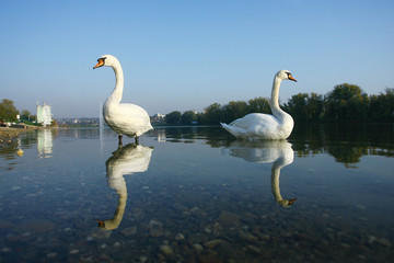 Two Swan in Lake Water Reflection