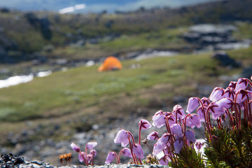 Flowers and tent in the background