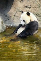 Giant panda sitting in water
