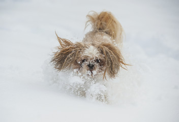 Dog shih tzu playing in snow.