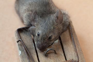 Nahaufnahme Maus in Falle