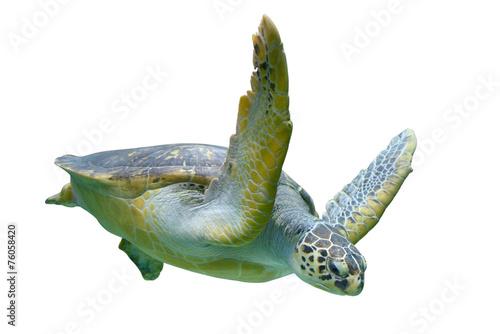 Sea turtle - 76058420