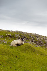 Sheep and picturesque pastures, Rodel, Outer Hebrides, Scotland