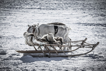The dog in the sled and reindeer on snow background. Toned