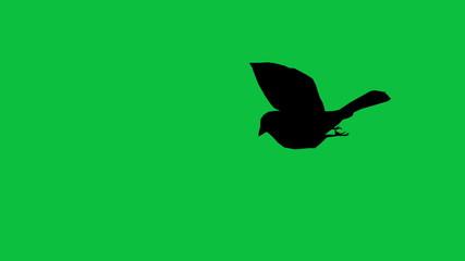 bird sparrow is flying  silhouette - green screen