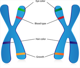 Genes and Alleles
