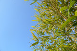 Leaves of bamboo against blue sky