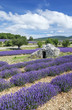 View of Lavender field and blue sky