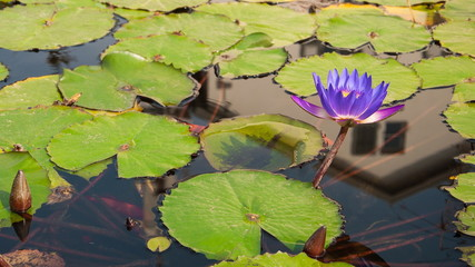 Purple Water Lily (Nymphea) in the lake