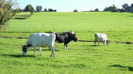 Kühe auf der Weide 3