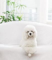 White poodle lying on the bed in the living room