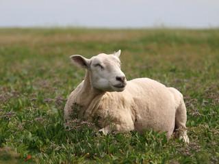Frisch geschorenes Schaf