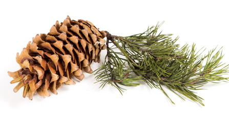 The cedar cone with a branch