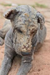 dog skin leprosy