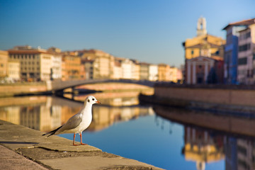 Seagull on banks of Arno river (Pisa, Tuscany, Italy)