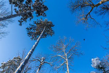 tall trees on clear skies