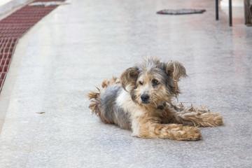 Thai dog has a rest