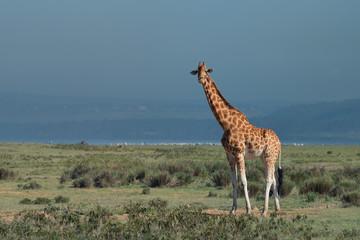 Ugandan giraffe ( Giraffa camelopardalis rothschildi )