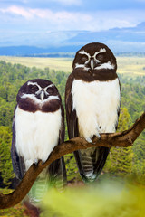 Owls couple on tree