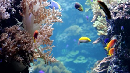 Multi-colored tropical small fishes among corals