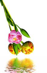 Dutch tulip isolated on white background