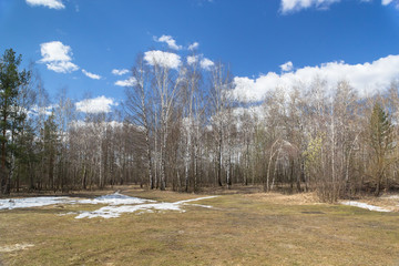 Birch forest in the early spring 2