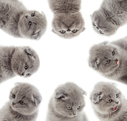 british kittens looking