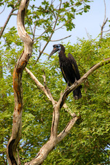 Abyssinian ground or northern ground hornbill in Senegal