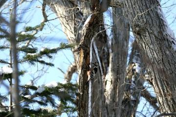 冬の野鳥・オオアカゲラ_7_4K撮影