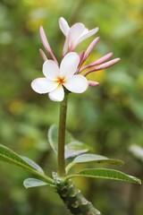 Plumeria Blooming - Singapore Dwarf Pink