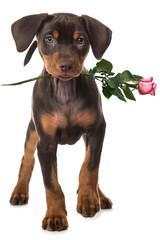 Welpe mit Rose
