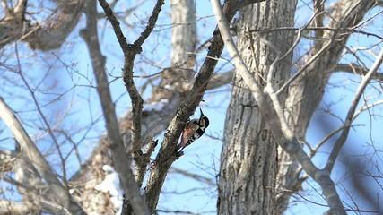 冬の野鳥・オオアカゲラ_6_ハイスピード撮影