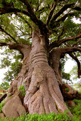 Giant Baobab tree in Senegal, Africa