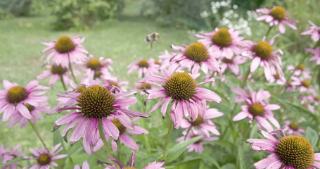 A bee transferring on every coneflower