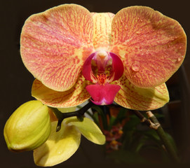 Orange orchid with a marsala red center petal