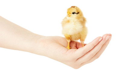 little chiken on the human hand on a white background