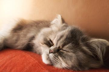 Gatto persiano che dorme
