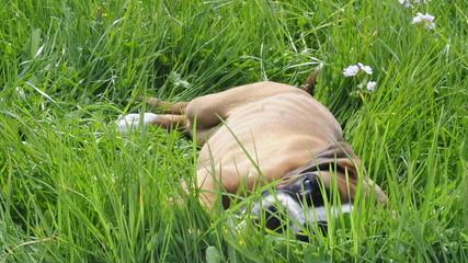 Boxerwelpe im Gras
