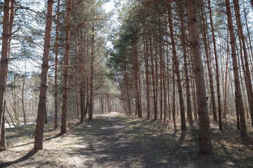 Pine forest in the early spring 4