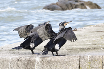 Pair of cormorants with splayed wings.