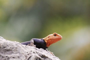 Common agama - rainbow lizard