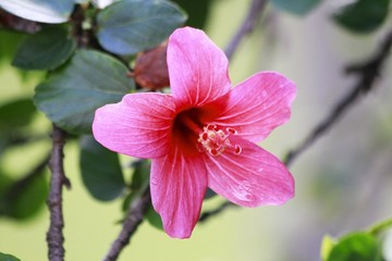 Bright Pink Hibiscus Flower blooming