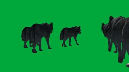 wolf walks