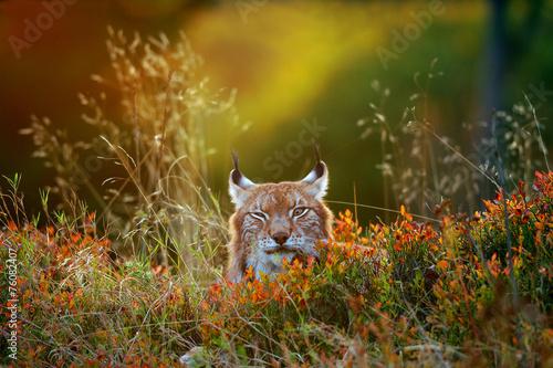 Fotobehang Lynx Eurasian lynx