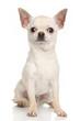 Chihuahua dog